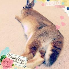 ICHIGO san 17 (Ichigo Miyama) Tags: いちごさん。うさぎ ichigo san rabbit bunny netherland dwarf brown ネザーランドドワーフ ペット いちご うさぎ