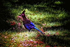 Little blue bird (bluesbby) Tags: bird blue nature beautiful ground feathers
