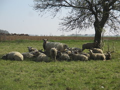 Troupeau de moutons en pleine séance de méditation (baba88500) Tags: mouton animaux yoga sieste repos