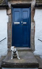 Wiggo in Crail (ghostwheel_in_shadow) Tags: crail eastneuk europe fife scotland unitedkingdom wiggo architecturalelement architectureandstructures dog door holiday jackrussell mammal parsonrussell terrier vertebrate
