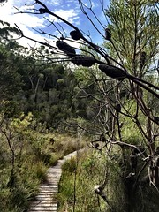 Boardwalk and banksia