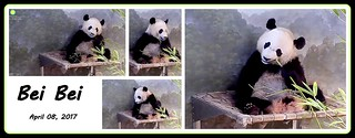 Bei Bei (eating in bed)