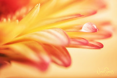 ... enchanting gerbera (nigel_xf) Tags: gerbera tropfen drop wassertropfen waterdrop gelb yellow orange nikon d750 macro makroaufnahme nigel nigelxf vsfototeam