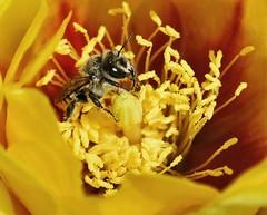 Pollen seekers 1 (Starkrusher) Tags: honeybees bees pollen cactusblossoms arizona macro macrophotography