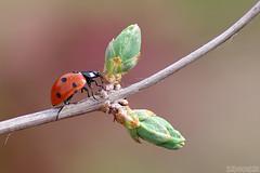 Springing Out (Vie Lipowski) Tags: ladybug ladybird ladybeetle insect beetle bug weed plant garden park spring wildlife nature macro