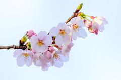 Cherry Blossoms (Somei-Yoshino) : ソメイヨシノ(染井吉野) (Dakiny) Tags: 2017 spring april japan kanagawa yokohama aoba ichigao outdoor nature field plant tree flower cherry blossom cherryblossoms yoshino someiyoshino macro bokeh nikon d7000 tamron 70300mm sp70300mmf456divcusd a005 modela005 nikonclubit