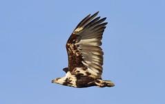 African Fish Eagle  (Haliaeetus vocifer) Imm (Ian N. White) Tags: africanfisheagle haliaeetusvocifer lobatse botswana immature