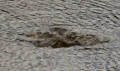Phishing about........ (Jo-phine) Tags: essex pond carp fishing spawn fish