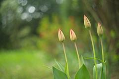 Maybe Tomorrow? (Stefan Zwi.) Tags: flower sony a7 ilce7 emount farbe flora helios442 tulpe tulip spring frühling bokeh garden garten ngc npc