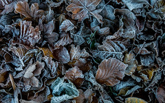 Remnants of the last summer (marinachi) Tags: hoar frost leaves november germany hoarfrost canonpowershots110
