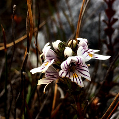 Flower. Mt Beattie. Clayton's Corner, Port Davey. Tasmania.