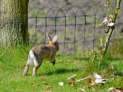 Problem ahead (Breboen) Tags: rabbit grass run fence wire problem cached blocked konijn garden nature out lapîn action captured block
