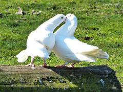 Springtime - Het is lente. (Cajaflez) Tags: vogels birds oiseau white wit spring voorjaar printemps fruling sierduif duif pigeon dove coth5