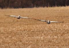 Wing  Wing (irio.jyske) Tags: animal birds cranes landscape nature field forest tree sigma canon