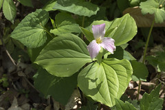 Trillium grandiflorum, Blue Spring Railroad Grade, White County, Tennessee 2 (Chuck Sutherland) Tags: trilliumgrandiflorum whitetrillium largefloweredtrillium greatwhitetrillium whitewakerobin trilleblanc white wildflower flower bluespring railroadgrade whitecounty tennessee tn pink