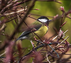great tit in acer (1 of 1)