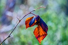 Autumn Leftover (*Capture the Moment* (OFF till End June)) Tags: 2017 bavaria bayern blatt farbdominanz filzn fotowalk germany leave matthias natur nature sigmaapo120400mmf4556dgoshsm sonya7m2 sonya7mii sonya7mark2 sonya7ii red rot
