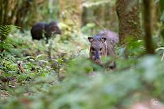 Pecarí de Collar - Pecari tajacu (Jorge De Silva R) Tags: pecari tajacu reserva de la biosfera el triunfo chiapasmexico jorgesilva nature