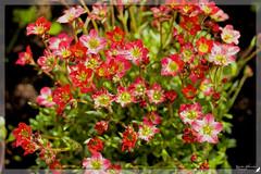 (#3.279) Flowers (unicorn 81) Tags: 150mm flowers frühling blumen pflanze steinbrech plant