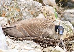 Canada goose nesting at Silver Springs Park IA 854A8485 (lreis_naturalist) Tags: canada goose nesting silver springs park winneshiek county iowa larry reis