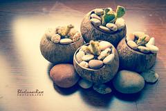 Mini World... (BlueLunarRose) Tags: cacti cactus coconut rock stones plant nature light morning shadow window sal1855 sonyalphadslra200 bluelunarrose