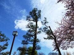 (Human-Faced Bun w/ Honey Pudding) Tags: sky tree light lamp streetlamp streetlight blue white cloud green pink cherry look up blossom ceder leaf