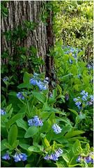 New Beginnings (Sun~Lover) Tags: lesarendsforestpreserve kanecounty illinois virginiabluebells flowers spring easter joy hope renewal