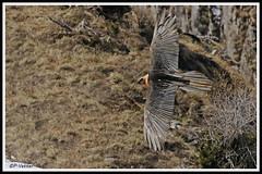 Gypaète 53-P (paul.vetter) Tags: oiseau ornithologie ornithology faune animal bird gypaètebarbu gypaetusbarbatus bartgeier quebrantahuesos beardedvulture vautour rapace