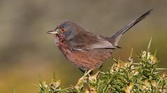 Dartford Warbler 080217 (7) (Explored) (Richard Collier - Wildlife and Travel Photography) Tags: wildlife naturalhistory birds british britishbirds dartfordwarbler naturethroughthelens ngc