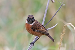 European Stonechat (Alan Gutsell) Tags: bird birding wildlife nature alan migration europeanstonechat european stonechat flycatcher england uk europe stone chat