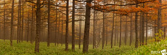 A u t u m n M u s i c 3 (AnthonyGinmanPhotography) Tags: autumn panorama japan forest panoramic autumncolours nagano naganoprefecture novoflex olympus1454mmf28 olympuse30 tomishi takaminekogan
