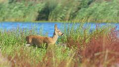 Roe Deer (image 1 of 3) (Full Moon Images) Tags: nature animal female mammal nt wildlife reserve deer national trust fen roe cambridgeshire burwell wicken