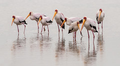 Yellow billed storks (Thomas Retterath) Tags: africa bird nature birds animals canon tanzania tiere wildlife urlaub ngc natur adventure safari afrika serengeti vögel vogel storch yellowbilledstork tansania mycteriaibis abenteuer nimmersatt 2013 lakemagadi thomasretterath canoneos5dmarkiii canonef300lis28usm copyrightthomasretterath