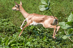 bucking around (Raj Dasgupta) Tags: zoo october d100 70300vr 23102014