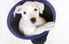 Reba (Immature Animals) Tags: light arizona rescue dog white cute girl animals puppy flickr photographer basket bright tucson young adorable ears az canine marshall foster derek sahuarita pup immature volunteer adopt spayed available petco facebook reba petfinder petcofoundation immatureanimals