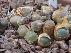 DSCF0122 (BobTravels) Tags: plant stone bob lithops lithop messem bobwitney