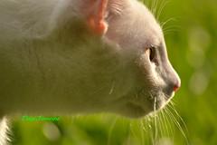 "Neko ""The Hunter"" (Deisi Ferreira) Tags: cat gato whitecat albinocat gatobranco gatoalbino"