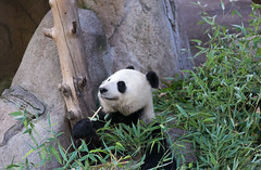 Bai Yun (kent.c) Tags: china usa canon us panda sandiego bamboo sd socal endangered southerncalifornia sandiegozoo balboapark endangeredspecies sdzoo panda female kentc canon5dmarkiii 5dmarkiii zoohabitat bai kentcphotography yun