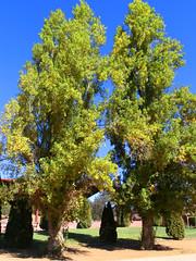 Ventura Farms, Hidden Hills, CA (Ted Tamada) Tags: trees tree casio pointandshoot casioexilim exilim tamada treephotos photosoftrees tedtamada tedtamadaphotography artphotosoftrees