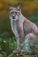 Eurasian Lynx (The Wasp Factory) Tags: lynx wildlifepark luchs wisentgehege springe eurasianlynx lynxlynx eurasischerluchs nordluchs wisentgehegespringe