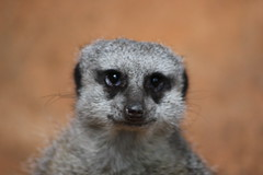 Hi There (Jesse Smith) Tags: chicago animals zoo meerkat lincolnpark