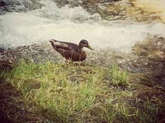 Quack! (roberteklund) Tags: krkanationalpark croatia kroatien hrvatska outdoor sommar summer 2014 krka nature ibenik sibenik nationalpark duck animal outdoors