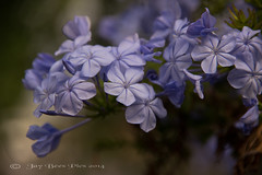 Moody Blues! (Jay Bees Pics) Tags: blue flower wow europe moody ngc greece npc corfu kerkyra plumbago 2014 ionianislands
