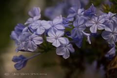 Moody Blues! (Jay Bees Pics) Tags: blue flower wow europe moody ngc greece npc corfu kerkyra plumbago 2014 ionianislands