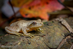 Spring Peeper (Pseudacris crucifer) - mid-October (DaveHuth) Tags: ny leaves forest woods small trails amphibian houghton forestfloor springpeeper pseudacriscrucifer lightcolored oldoaktrail