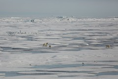 Polar Bear Family Vast Arctic Wilderness Ice Floes Prince Leopold Island Prince Lancaster Sound Canada High Arctic (In Memoriam Ngaire Hart) Tags: summer white canada cold history ice expedition nature weather birds rock season spectacular landscape photography grey kill wildlife extreme birding documentary calm historic polarbear seal strata icefloes blinding inuit northamerica mirrored bleak remote cubs prey iceberg zodiac geology frigid nunavut survival climate arid nesting northwestpassage birdsanctuary sheer fulmars kittiwakes seamammal qikiqtaaluk moodiness canadianarctic beardedseal akademikioffe franklinexpedition devonisland higharctic arcticskies lancastersound princeleopoldisland qausuittuq princeregentinlet akademikvavilov polarbeartwins russianscientificvessel quttiktuq eriagn ngairehart parrychannel 70thanniversarystroch polarbearfemale