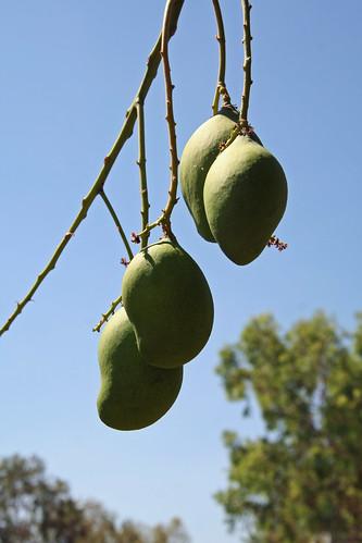 20140919_5344 mango fruit