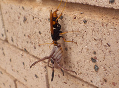 Cryptocheilus bicolor spider wasp Sparassidae Huntsman spider DSCF4169 (Bill & Mark Bell) Tags: exmouth westernaustralia australia geo:town=exmouth geo:state=westernaustralia geo:country=australia geo:lon=11425453egeolat2217752sgeoalt8m 11425453e2217752salt8m taxonomy:kingdom=animalia animalia taxonomy:phylum=arthropoda arthropoda taxonomy:class=insecta insecta taxonomy:order=hymenoptera hymenoptera taxonomy:family=pomplilidae pomplilidae taxonomy:genus=cryptocheilus cryptocheilus bicolor taxonomybinomialnamecryptocheilusbicolor taxonomycommonnamespiderwasp spiderwasp taxonomy:class=arachnida arachnida taxonomy:order=araneae araneae taxonomy:superfamily=sparassoidea sparassoidea taxonomy:family=sparassidae sparassidae taxonomycommonnamehuntsmanspider huntsmanspider spider