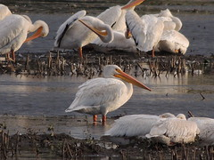 American White Pelicans (Two Cats Productions) Tags: bird nature minnesota pelican americanwhitepelican