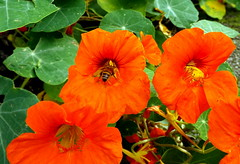 long flowering nasturtiums visited by a late honeybee (marguerite segond) Tags: flowers autumn macro insects indiansummer